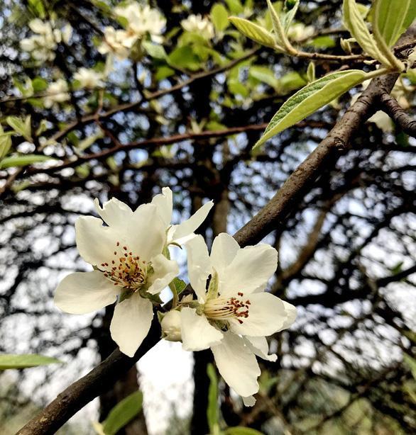 Giới thiệu về mật ong hoa táo mèo
